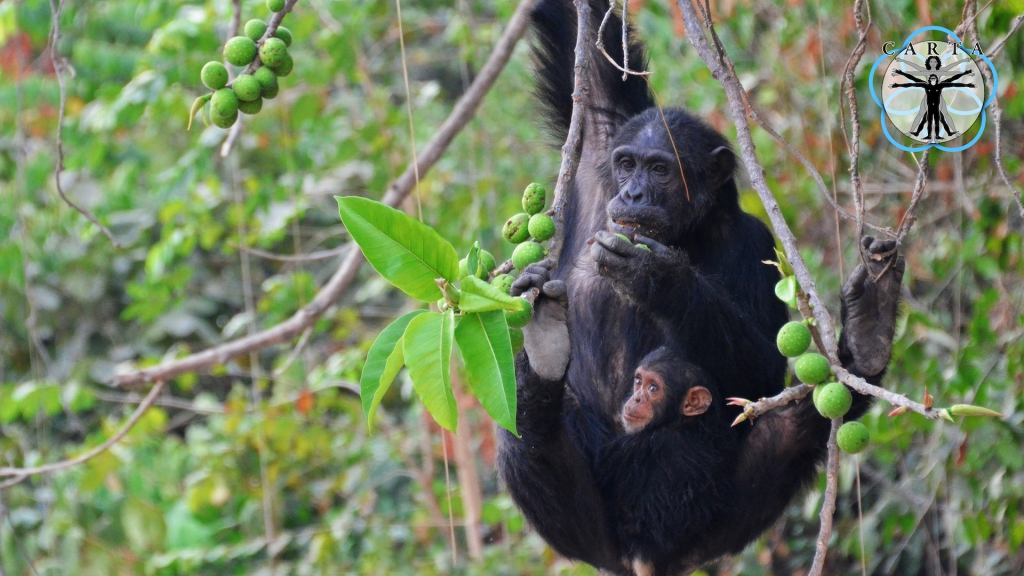 Location: Gombe Stream National Park, Tanzania. Photo credit: Pascal Gagneux.